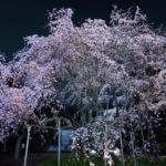 六義園夜桜