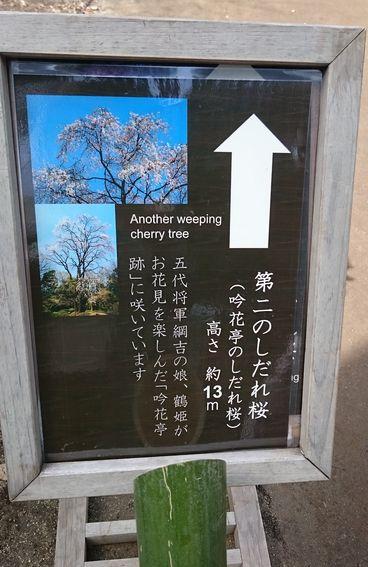 第二のしだれ桜看板