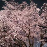 六義園しだれ桜ライトアップ